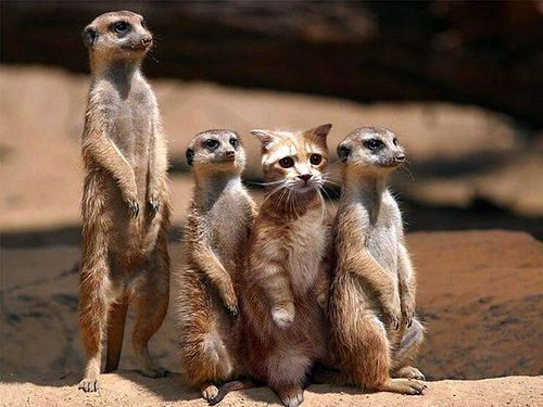 Meerkat, meerkat, the Oxford cat, and meerkat